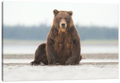 Alaska Grizzly Bear Posing Canvas Art Print