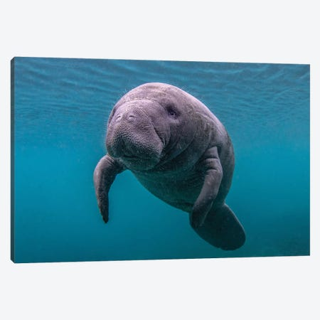 Baby Florida Manatee Canvas Print #ERF8} by Eric Fisher Art Print