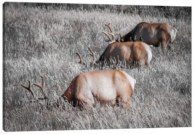 Grazing in a Field of Gray Canvas Art Print