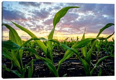 Newborn Corn Canvas Print #ESC53