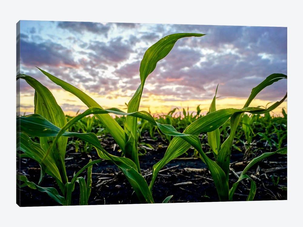 Newborn Corn by Eric Schech 1-piece Canvas Art