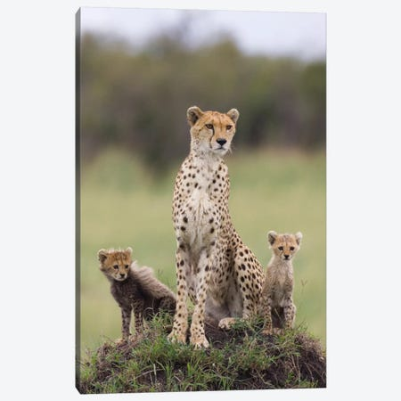 Cheetah Mother And Eight To Nine Week Old Cubs, Maasai Mara Reserve, Kenya I Canvas Print #ESZ1} by Suzi Eszterhas Canvas Art Print
