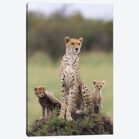 Cheetah Mother And Eight To Nine Week Old Cubs, Maasai Mara Reserve, Kenya I Canvas Print #ESZ1} by Suzi Eszterhas Canvas Art Print