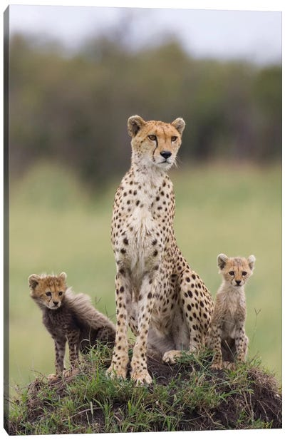 Cheetah Mother And Eight To Nine Week Old Cubs, Maasai Mara Reserve, Kenya I Canvas Art Print