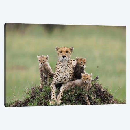 Cheetah Mother And Eight To Nine Week Old Cubs, Maasai Mara Reserve, Kenya II Canvas Print #ESZ2} by Suzi Eszterhas Canvas Art Print