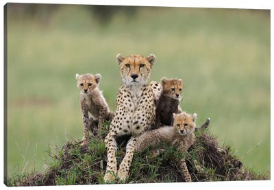 Cheetah Mother And Eight To Nine Week Old Cubs, Maasai Mara Reserve, Kenya II Canvas Art Print