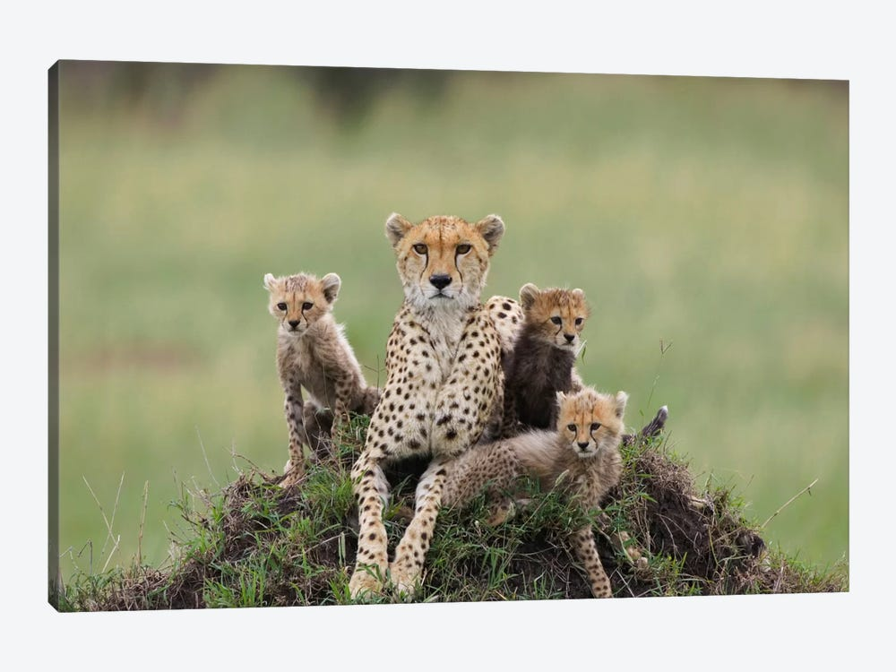 Cheetah Mother And Eight To Nine Week Old Cubs, Maasai Mara Reserve, Kenya II by Suzi Eszterhas 1-piece Canvas Art