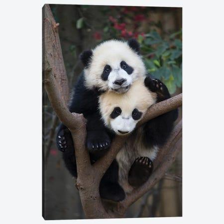 Giant Panda Six-To-Eight Month Old Cubs In Tree, Chengdu, China Canvas Print #ESZ3} by Suzi Eszterhas Canvas Print