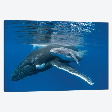 Humpback Whale Mother With Four Day Old Calf, Tonga Canvas Print #ESZ4} by Suzi Eszterhas Canvas Artwork