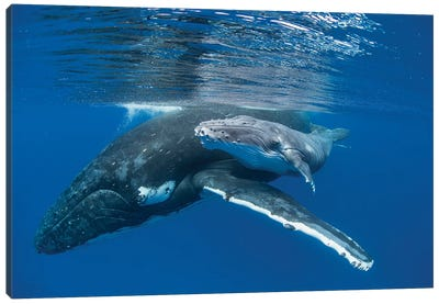 Humpback Whale Mother With Four Day Old Calf, Tonga Canvas Art Print