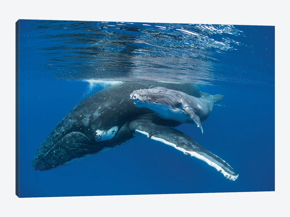 Humpback Whale Mother With Four Day Old Calf, Tonga by Suzi Eszterhas 1-piece Canvas Wall Art