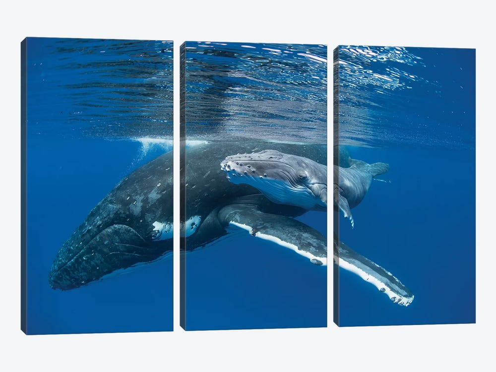 Humpback Whale Mother With Four Day Old Calf, Tonga by Suzi Eszterhas 3-piece Canvas Art