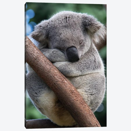 Koala Male Sleeping, Queensland, Australia Canvas Print #ESZ5} by Suzi Eszterhas Canvas Wall Art