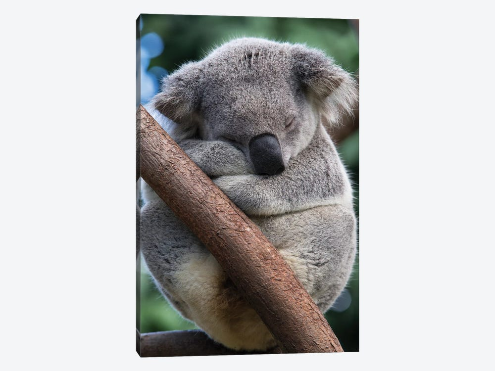 Koala Male Sleeping, Queensland, Australia by Suzi Eszterhas 1-piece Art Print