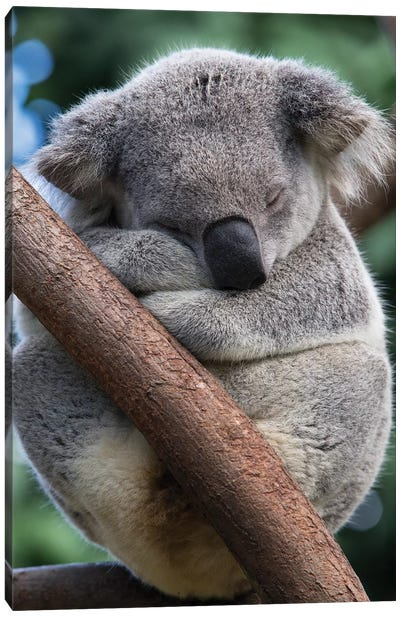 Koala Male Sleeping, Queensland, Australia Canvas Art Print