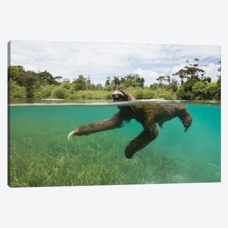 Pygmy Three-Toed Sloth Swimming In Mangrove Forest, Isla Escudo De Veraguas, Panama Canvas Print #ESZ6} by Suzi Eszterhas Canvas Art