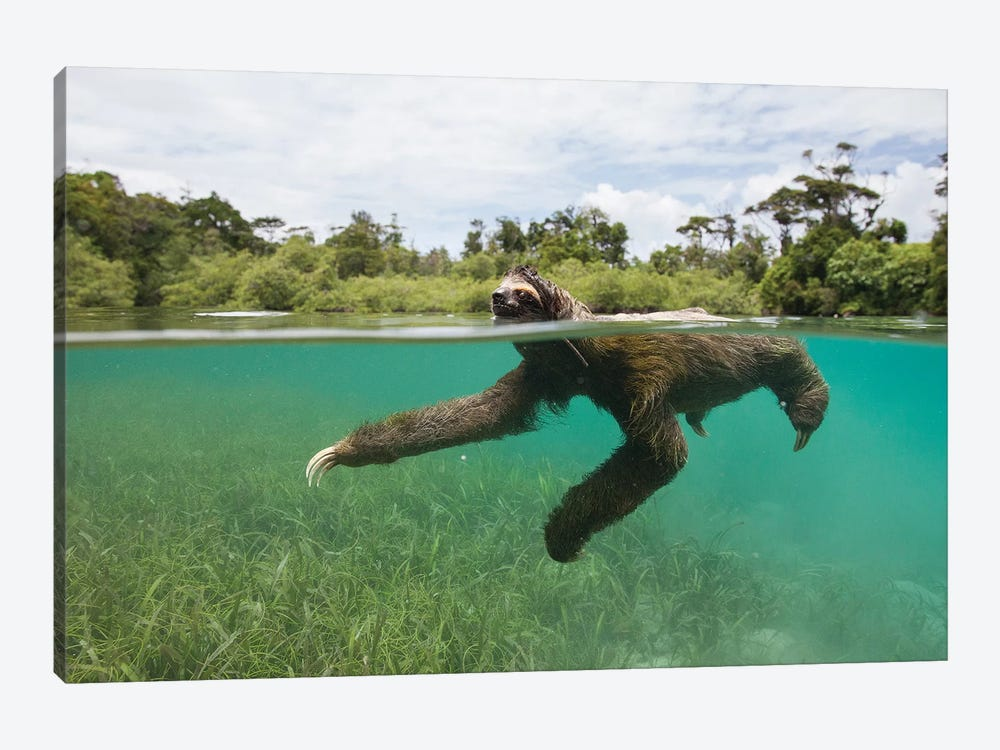 Pygmy Three-Toed Sloth Swimming In Mangrove Forest, Isla Escudo De Veraguas, Panama by Suzi Eszterhas 1-piece Canvas Art