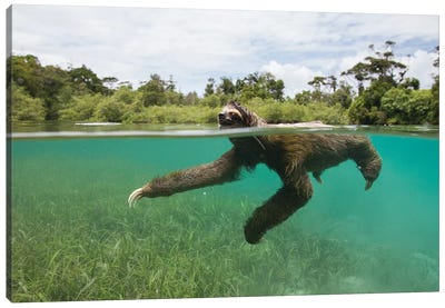 Pygmy Three-Toed Sloth Swimming In Mangrove Forest, Isla Escudo De Veraguas, Panama Canvas Art Print