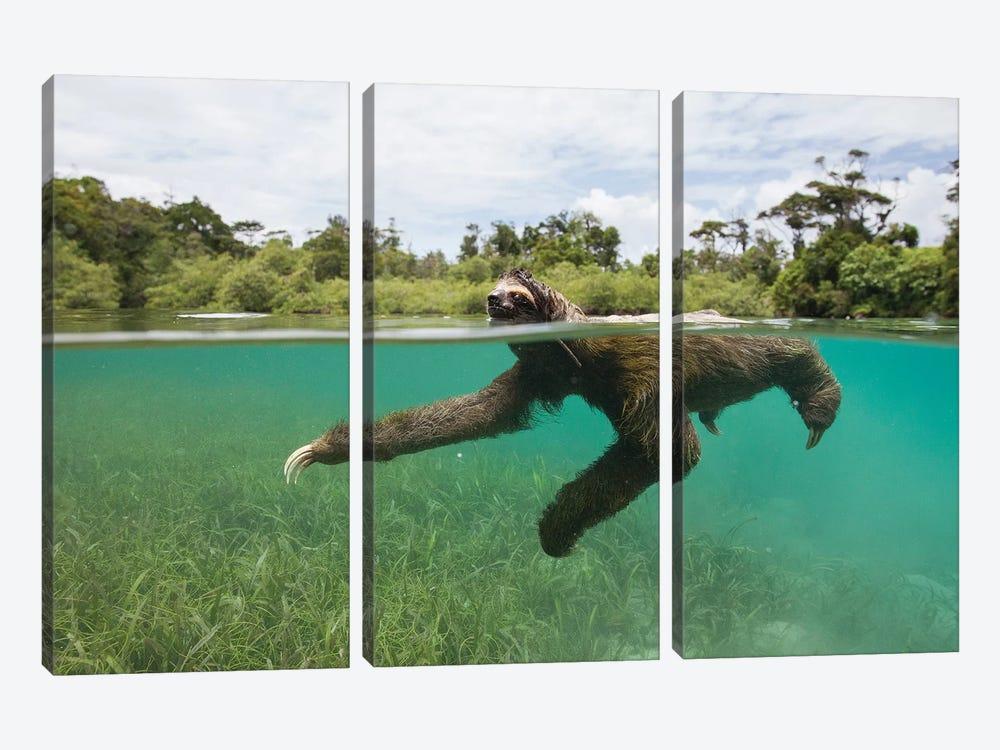 Pygmy Three-Toed Sloth Swimming In Mangrove Forest, Isla Escudo De Veraguas, Panama by Suzi Eszterhas 3-piece Canvas Wall Art