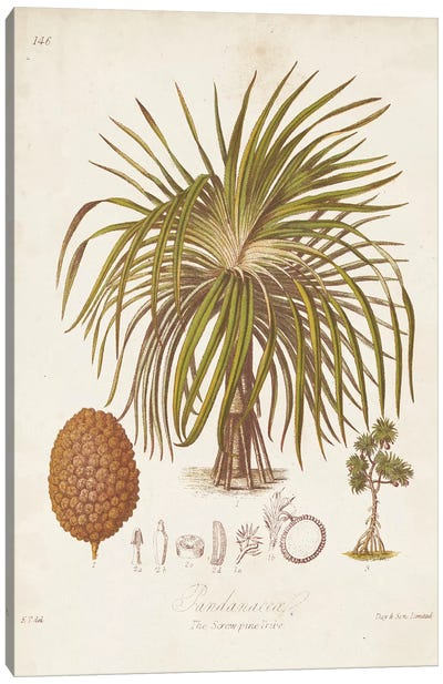 Antique Tropical Palm II Canvas Art Print