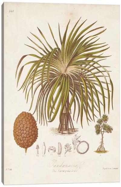 Antique Tropical Palm II Canvas Art Print