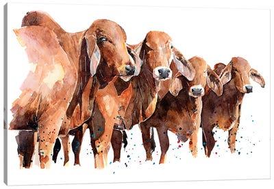 Texan Brahmans Canvas Art Print