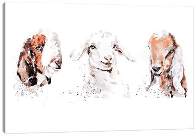 Boer Saneen And Nubian Goat Kids. The Three Kings Canvas Art Print