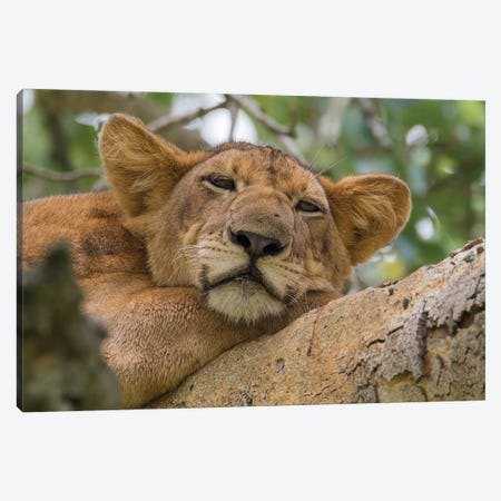 Uganda, Ishasha, Queen Elizabeth National Park. Lioness in tree, resting on branch. Canvas Print #EWI20} by Emily Wilson Canvas Artwork