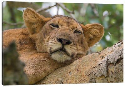 Uganda, Ishasha, Queen Elizabeth National Park. Lioness in tree, resting on branch. Canvas Art Print