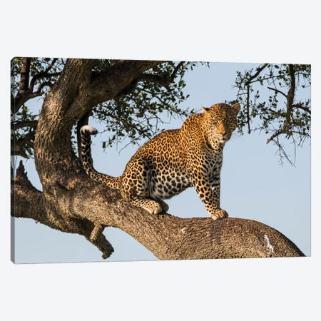 Africa, Kenya, Masai Mara National Reserve, African Leopard in tree. 3-Piece Canvas #EWI2} by Emily Wilson Canvas Print