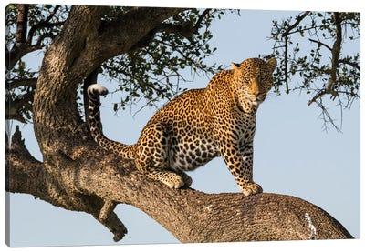 Africa, Kenya, Masai Mara National Reserve, African Leopard in tree. Canvas Art Print