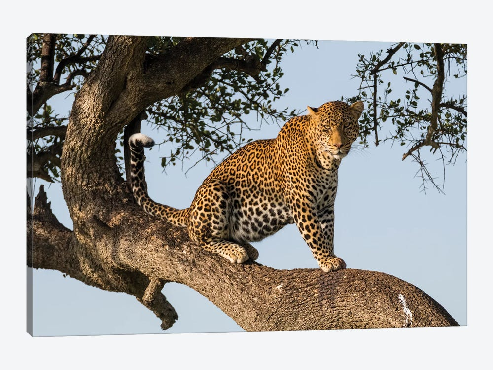 Africa, Kenya, Masai Mara National Reserve, African Leopard in tree. by Emily Wilson 1-piece Canvas Wall Art
