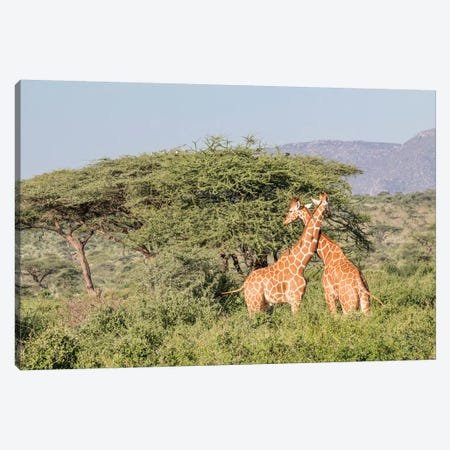 Africa, Kenya, Samburu National Park, Reticulated Giraffes at sunset. Canvas Print #EWI3} by Emily Wilson Canvas Print