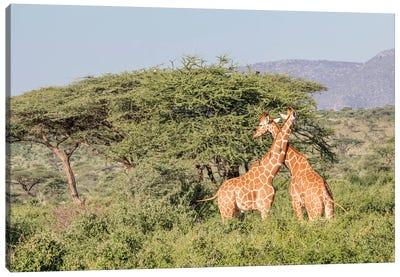 Africa, Kenya, Samburu National Park, Reticulated Giraffes at sunset. Canvas Art Print