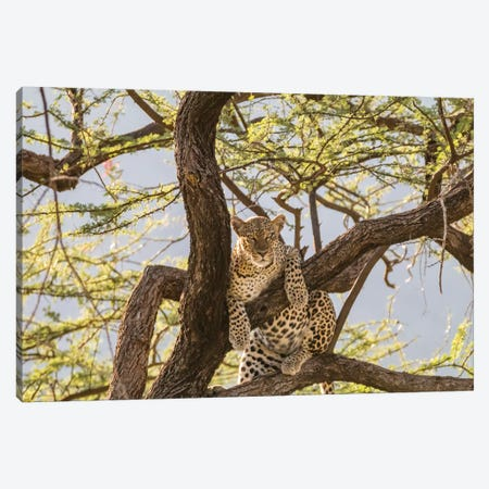 Africa, Kenya, Samburu National Reserve. African Leopard in tree I Canvas Print #EWI4} by Emily Wilson Canvas Art