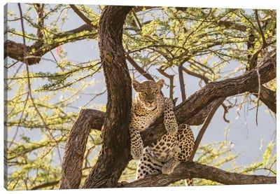 Africa, Kenya, Samburu National Reserve. African Leopard in tree I Canvas Art Print