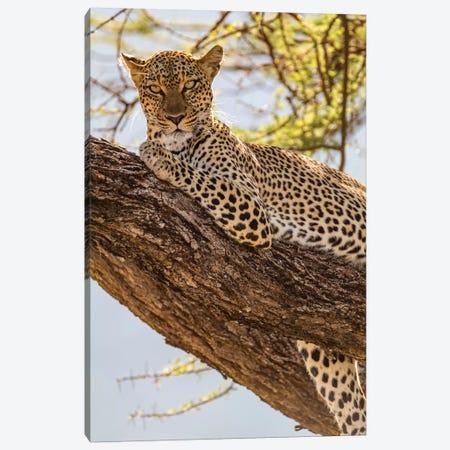 Africa, Kenya, Samburu National Reserve. African Leopard in tree II 3-Piece Canvas #EWI5} by Emily Wilson Canvas Art