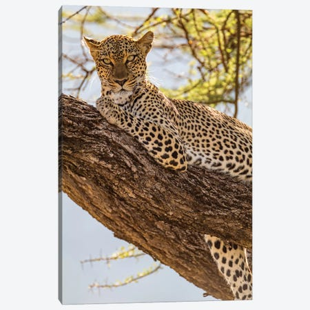Africa, Kenya, Samburu National Reserve. African Leopard in tree II Canvas Print #EWI5} by Emily Wilson Canvas Art