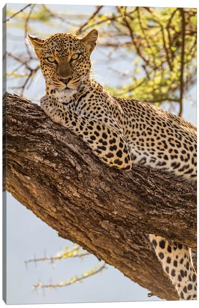 Africa, Kenya, Samburu National Reserve. African Leopard in tree II Canvas Art Print