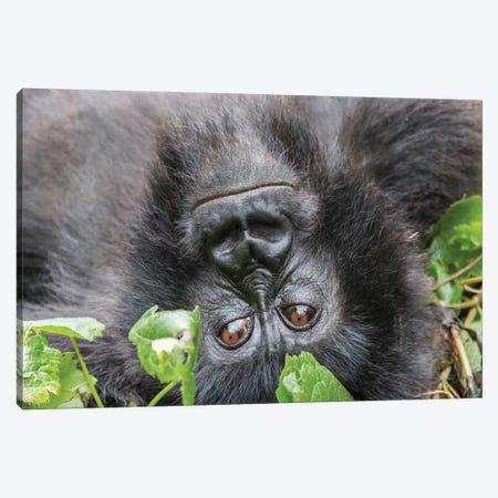 Rwanda, Volcanoes National Park, Ruhengeri, Kinigi. Mountain gorilla I Canvas Print #EWI7} by Emily Wilson Canvas Artwork