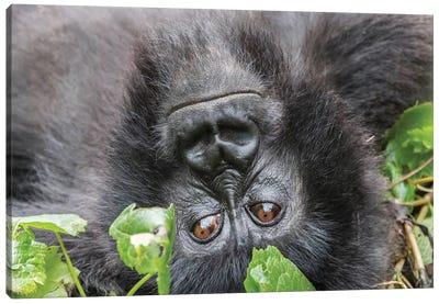 Rwanda, Volcanoes National Park, Ruhengeri, Kinigi. Mountain gorilla I Canvas Art Print