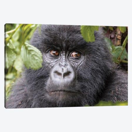 Rwanda, Volcanoes National Park, Ruhengeri, Kinigi. Mountain gorilla II Canvas Print #EWI8} by Emily Wilson Canvas Art Print