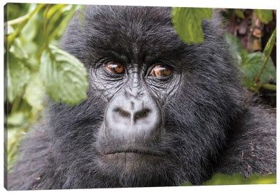 Rwanda, Volcanoes National Park, Ruhengeri, Kinigi. Mountain gorilla II Canvas Art Print