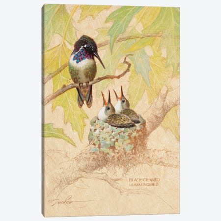 Black-Chinned Hummingbird Nest Canvas Print #EZT15} by Ezra Tucker Canvas Wall Art