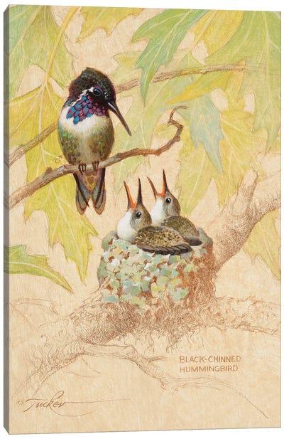 Black-Chinned Hummingbird Nest Canvas Art Print