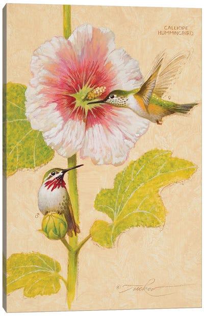 Calliope Hummingbird Male & Female Canvas Art Print