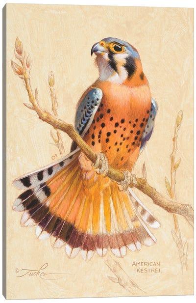 American Kestrel Canvas Art Print