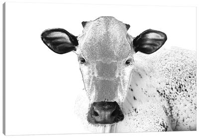 Black And White Cow Canvas Art Print