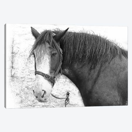 Irish Horse Canvas Print #FAU155} by Eric Fausnacht Canvas Art