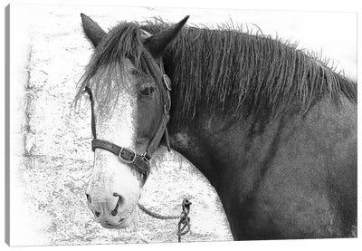 Irish Horse Canvas Art Print